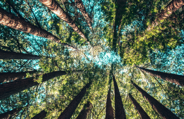Worm's eye view of tall trees